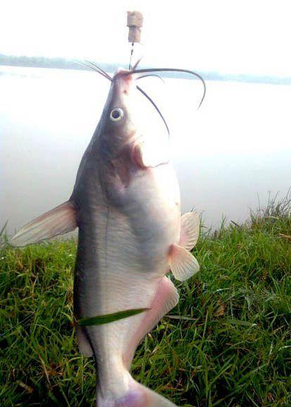 cá ngạnh