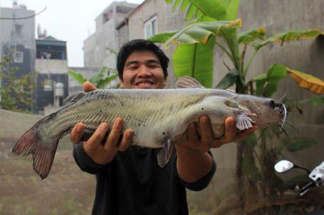 cá ngạnh 3kg
